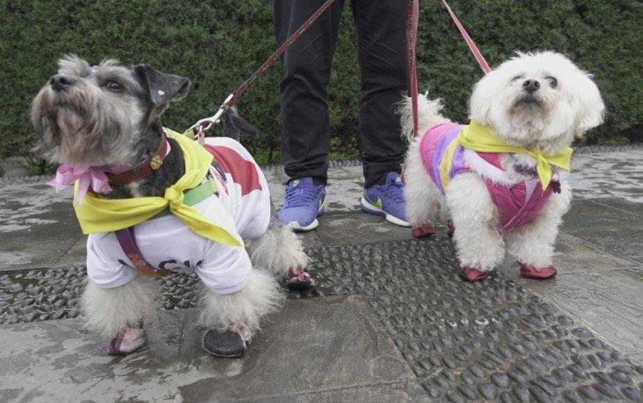 Municipalidad de Surco y Asppa organizan 'Caninatón 4k' para esterilizar a mil perritos de las calles