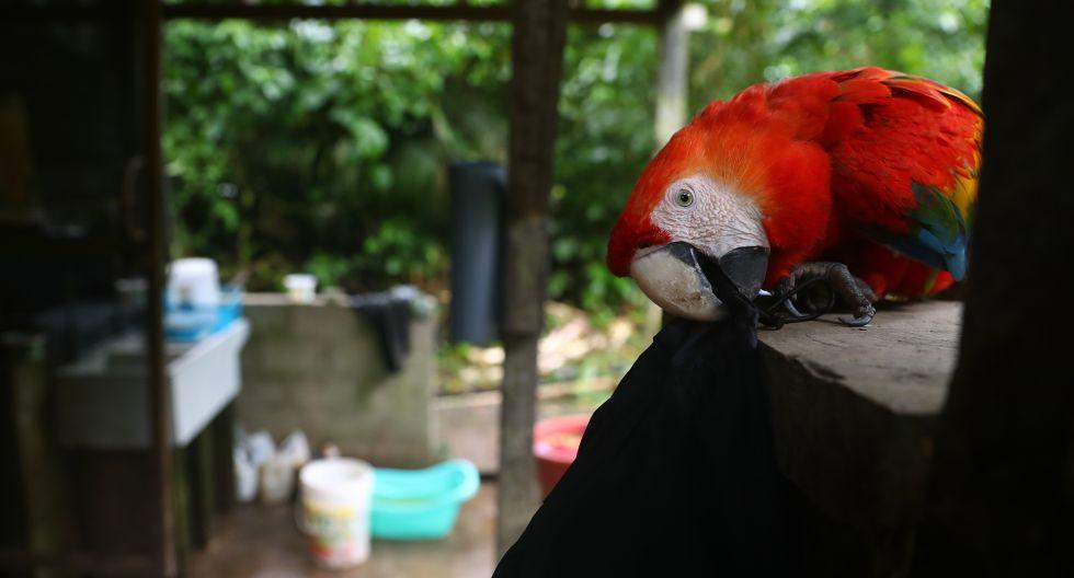 Un guacamayo que se resiste a volver a casa: la ardua tarea por rehabilitar animales víctimas de tráfico y retornarlos a su hábitat | FOTOS Y VIDEO