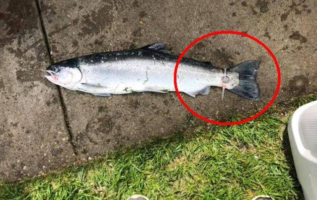 La verdadera historia de un anillo de matrimonio que acabó en la cola de un pez
