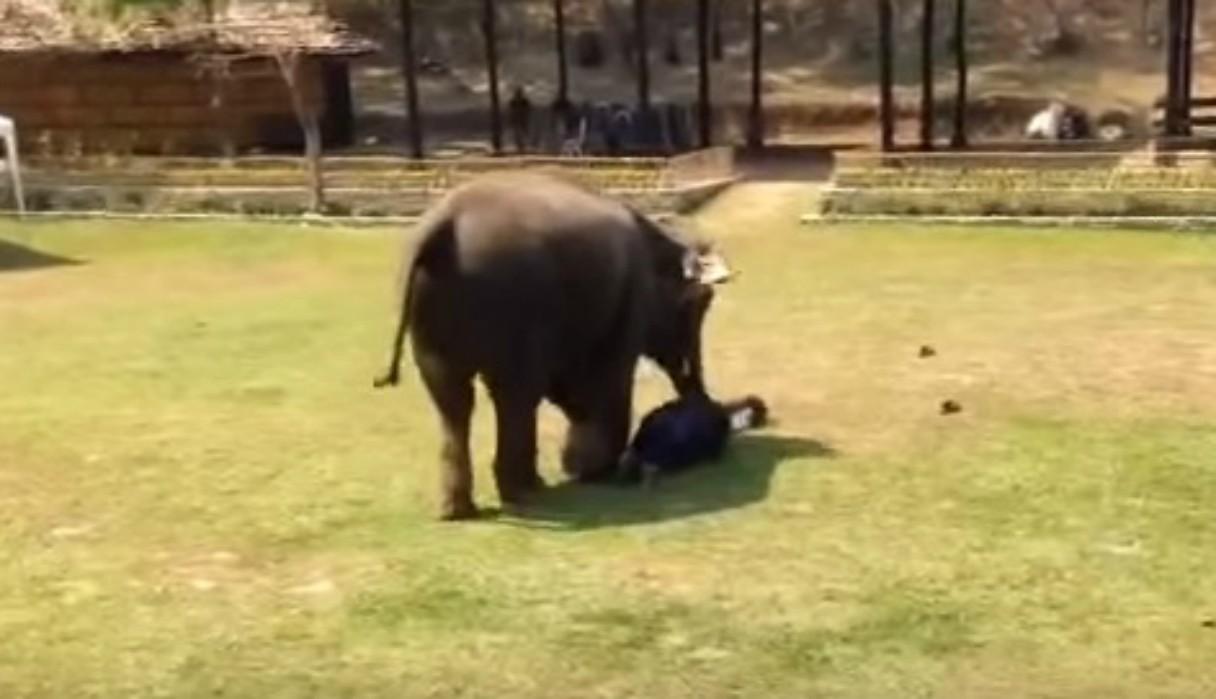 """Elefante rescata a su cuidador de ser """"atacado"""" y conmueve a usuarios de Facebook"""