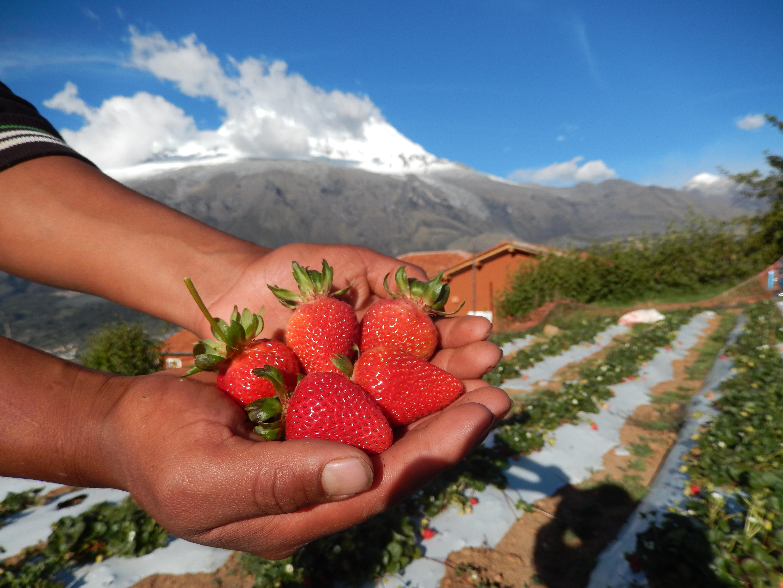La fresa del Huascarán: una fruta que crece para el futuro