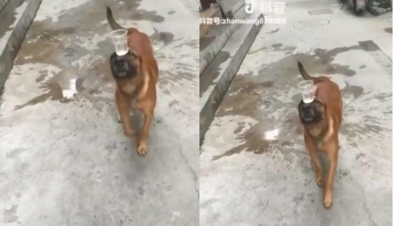 Perro sorprende en redes con su destreza para llevar un vaso de agua en su hocico | VIDEO