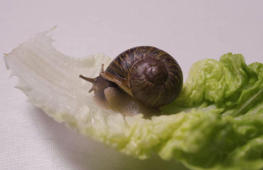 Jeremy, un caracol que no puede reproducirse por ser zurdo