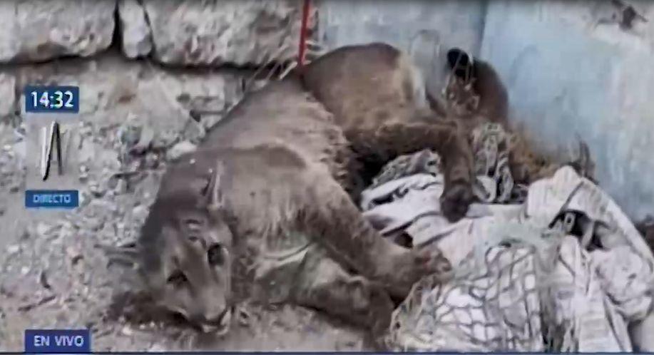 Arequipa: capturan a puma visto en Cerro Colorado tras dos días de búsqueda