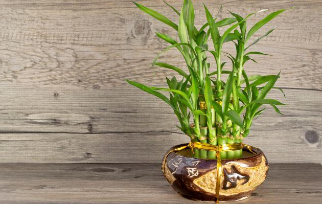 ¿Cómo cuidar a tu bambú de la suerte? Consejos para que siempre luzca radiante