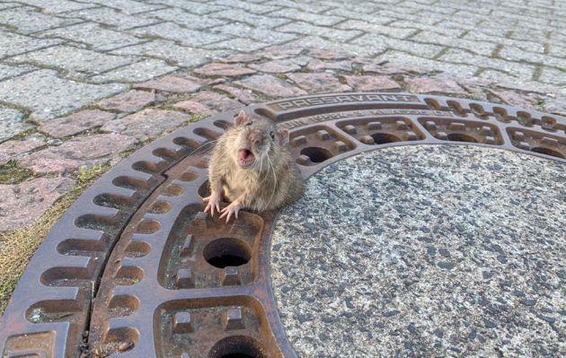 El heroico rescate de una rata atrapada en una alcantarilla por estar 'gorda'