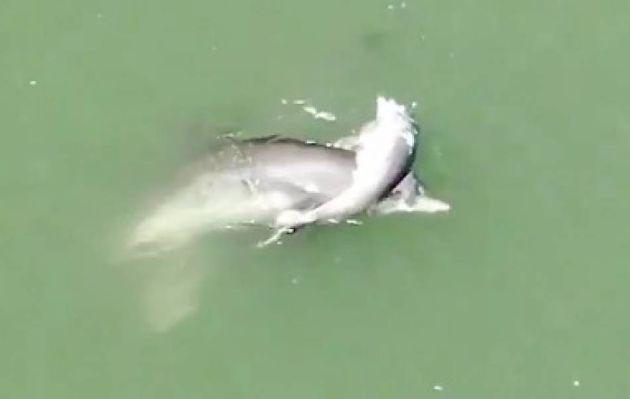 Viral: desgarradores intentos de una madre delfín que intenta reanimar a su cría
