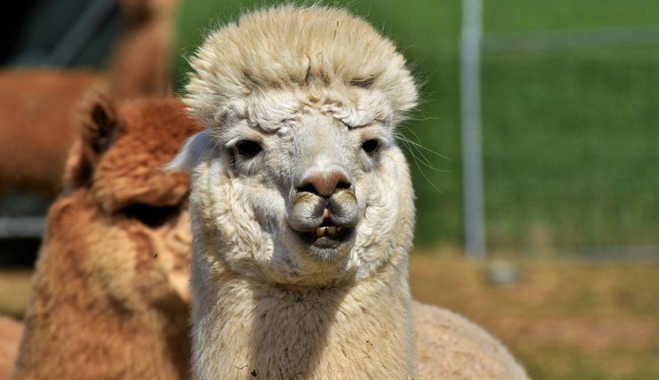 Podemos encontrar restos arqueológicos de la cultura Mochica del Perú con representaciones de alpacas. (Foto: Pixabay)