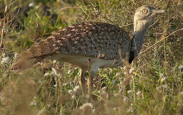 Príncipe saudí mata a 2.000 pájaros de especie en peligro de extinción