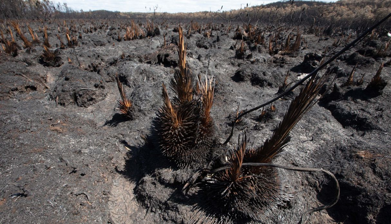 Una vista de los matorrales quemados en Peregian Beach, en Queensland, una de las zonas afectadas por los incendios forestales. (EFE)