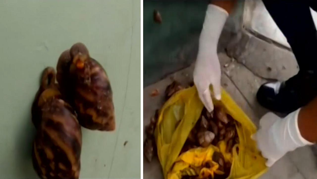 Alarma por peligrosos caracoles africanos hallados en plena calle de Iquitos | VIDEO - Diario Ojo