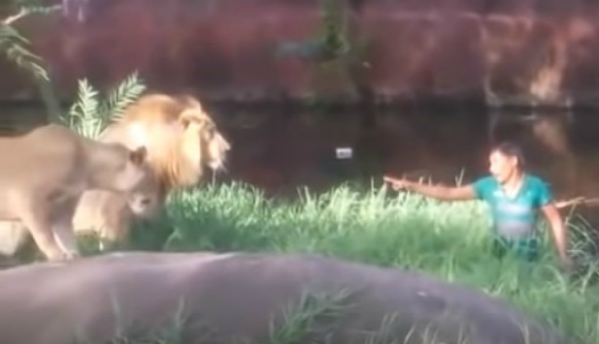 Un sujeto ingresa al hábitat de unos leones y los desafía estando 'cara a cara'