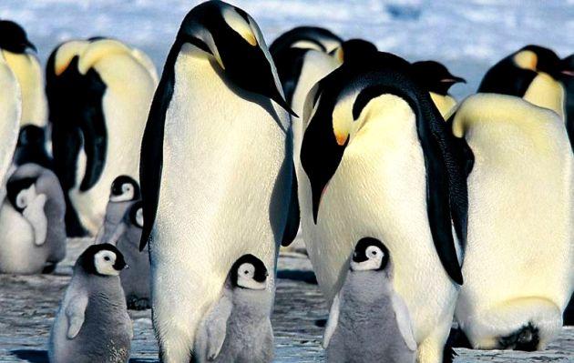 Pingüino emperador en peligro por el cambio climático