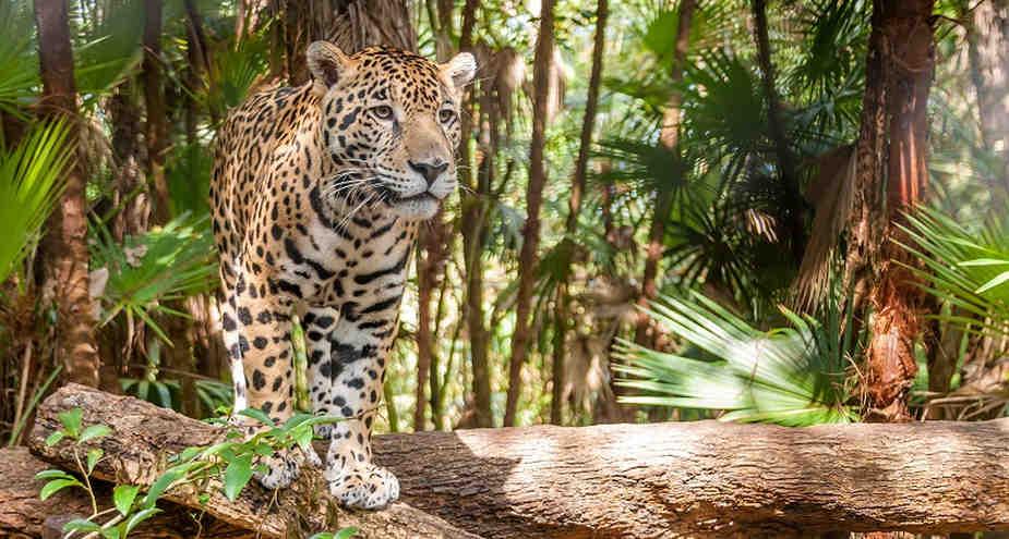 Jaguares en peligro: solo quedan 22 mil en el Perú