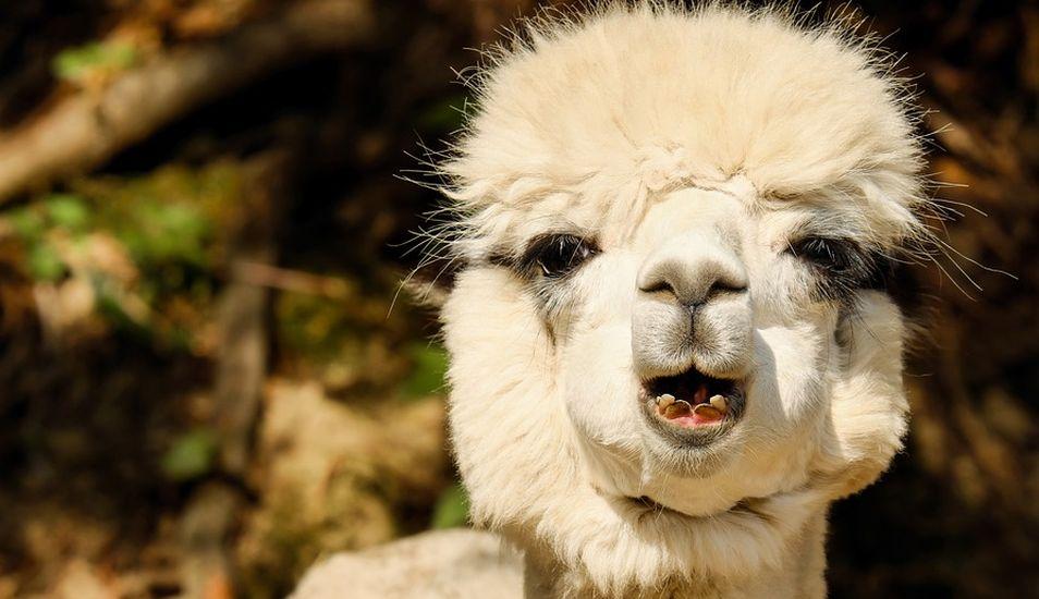 La alpaca evolutivamente está emparentada con la vicuña, aunque en las poblaciones actuales hay una fuerte introgresión genética de la llama (Lama glama). (Foto: Pixabay)