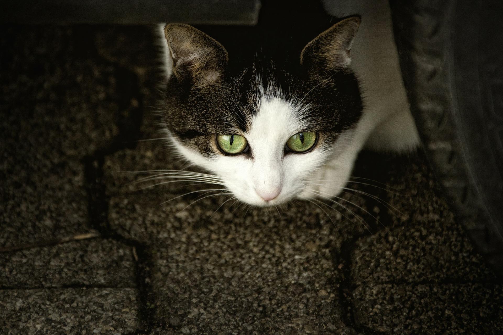 Los gatos cachorros o adultos con pulgas o garrapatas tienen un mayor riesgo de desarrollar anemias. (Pixabay)