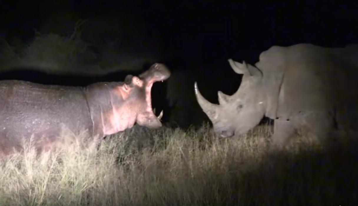 Un hipopótamo y un rinoceronte protagonizan una pelea que ha dejado boquiabiertos a miles de personas en el mundo