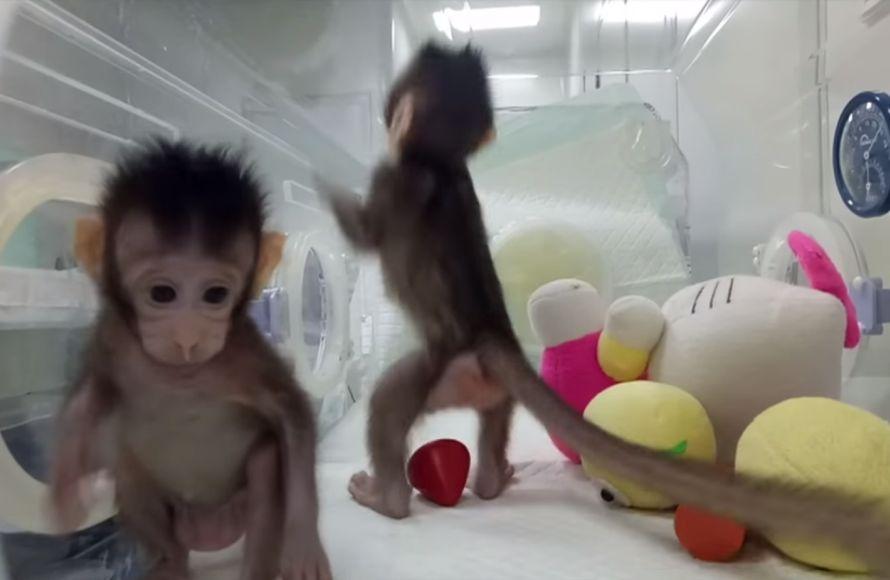 Científicos chinos describen método para clonar macacos
