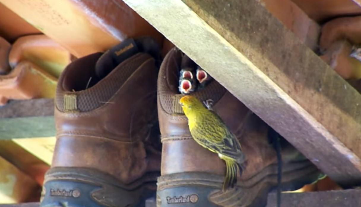 Dejó sus zapatos cerca del techo y descubre que una familia de aves los habían convertido en su nido