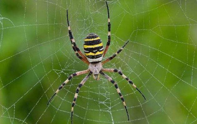 Descubren que avispas convierten a arañas en zombies para esclavizarlas