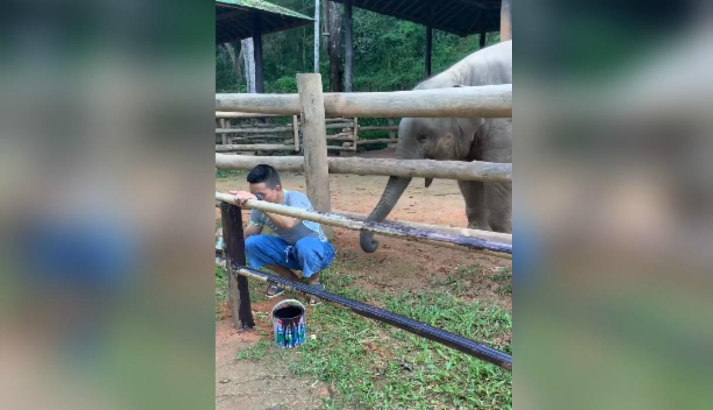 Elefante llama la atención de su cuidador utilizando curiosa maniobra y enternece las redes
