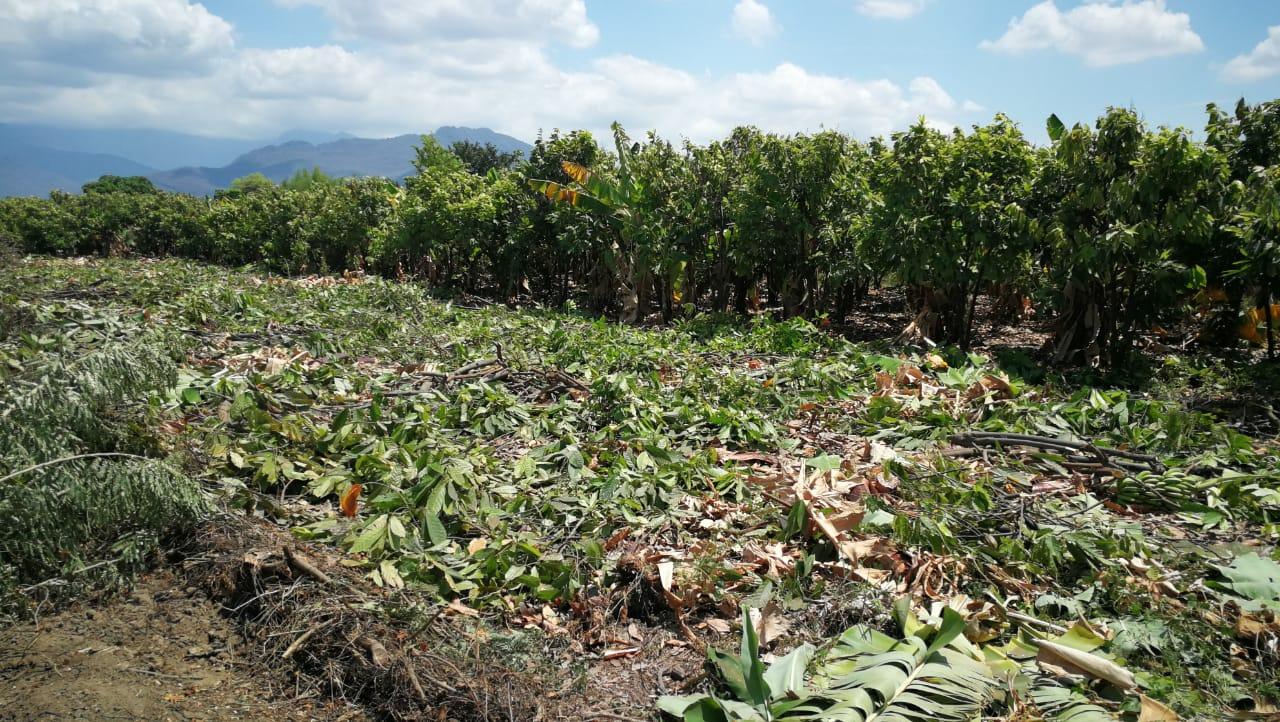 Agricultor erradica cacao en Piura. (Foto: Difusión APPCacao)