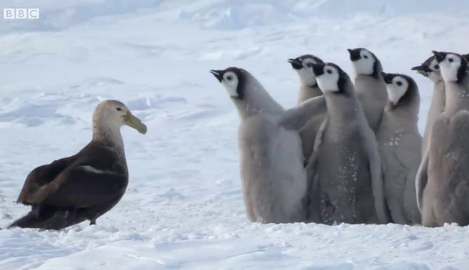 "Pingüinos encaran a ave depredadora al mismo estilo de ""300"" con técnica de defensa espartana"