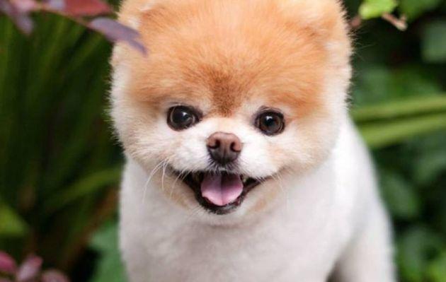 Muere Boo, 'el perro más lindo del mundo' con más de 16 millones de seguidores