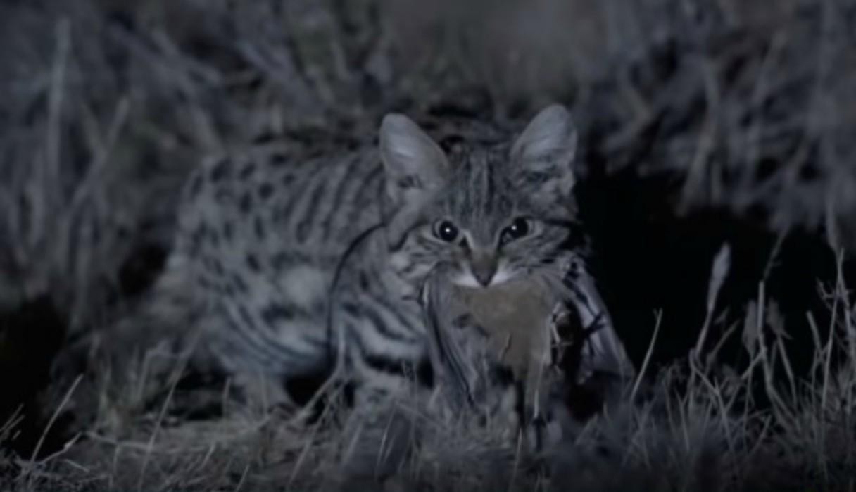 """Así es el ataque del gato de patas negras, el felino """"más letal del planeta"""""""