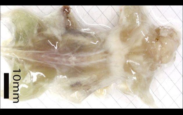Científicos japoneses logran crear ratones transparentes