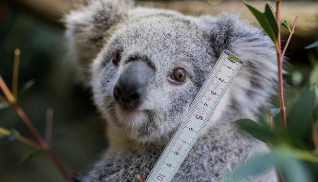 El Koala está funcionalmente extinto en Australia, según ONG