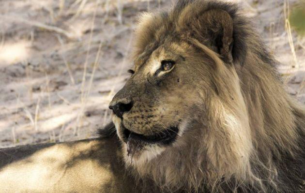 Sudáfrica: cazador de rinocerontes fue asesinado por un elefante y luego comido por leones