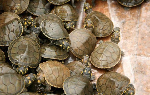 Liberarán 500,000 tortugas taricayas en Pacaya Samiria
