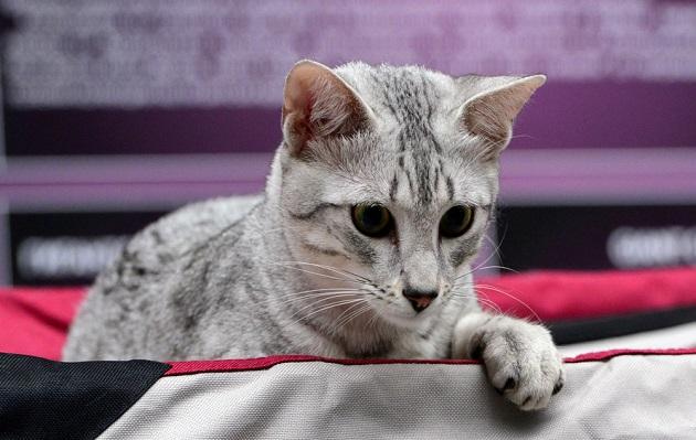 El primer show felino internacional en Perú inicia este viernes
