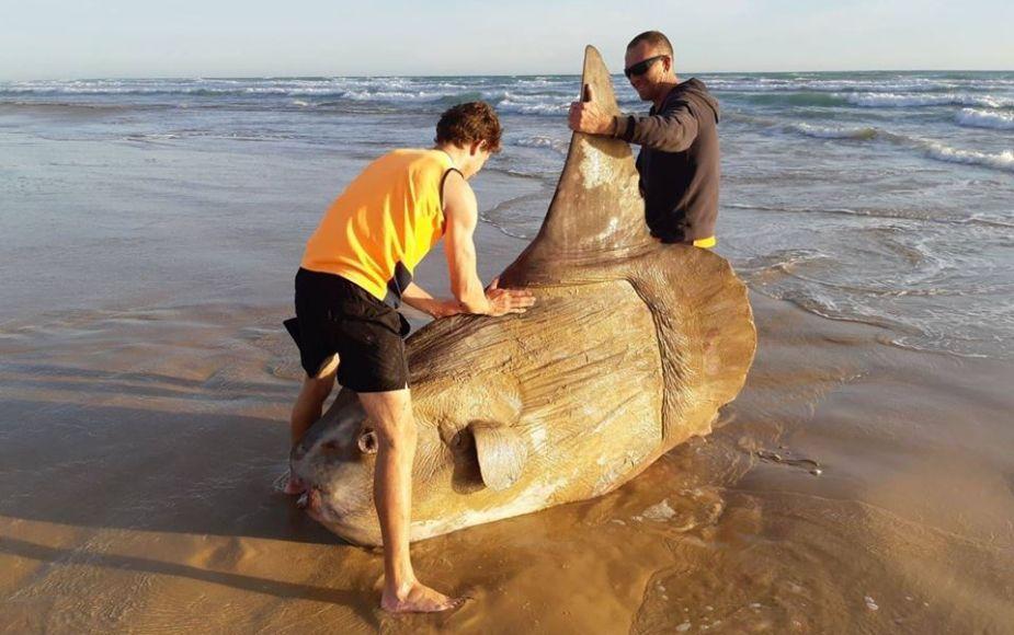 El monstruoso pez de casi 2 metros que fue confundido con una escultura en Australia