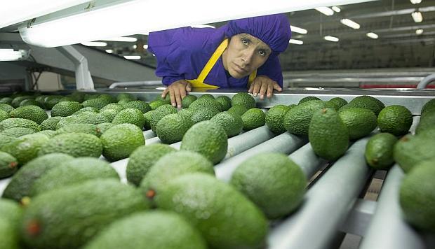 Palta Hass peruana ingresará a cuatro mercados del Asia este 2019, según Senasa