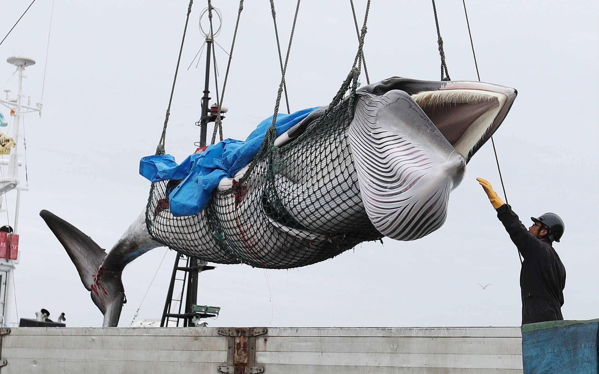 Japón vuelve a cazar ballenas con fines comerciales luego de más de 30 años de interrupción