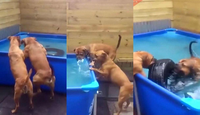 Dos perros bóxer trabajan en equipo para sacar una llanta metida dentro de piscina