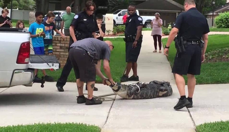 Cocodrilo noqueó de un cabezazo al especialista que trajeron para capturarlo | VIDEOS